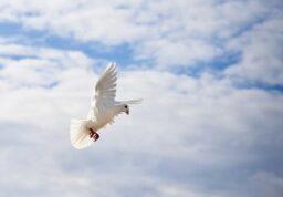 une colombe